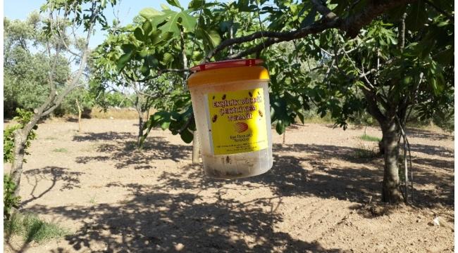 Aydın'da İncir üreticilerine ekşilik böceği tuzakları dağıtılıyor