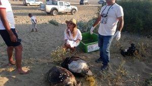 Didim'de iki ölü Caretta caretta bulundu
