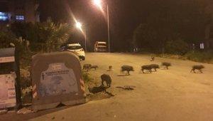 Kuşadası'nda domuz sürüsü şehre indi