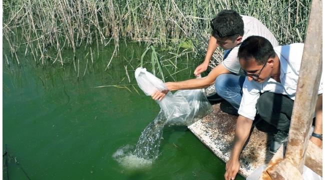 Aydın'da 100 bin adet yavru sazan balığı göletlere bırakıldı