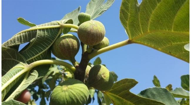 Aydın'da incir bahçelerinde kırmızı örümcek mücadelesi devam ediyor