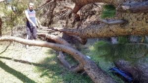 Çam ağacı bir aileyi yok ediyordu