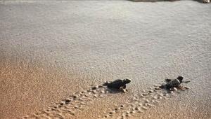 Aydın'da caretta caretta yavruları denize ulaştı