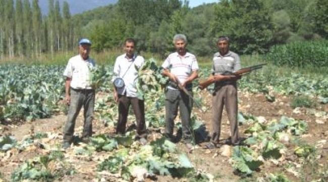 Aydın'daki tarlaları domuzlar işgal etti