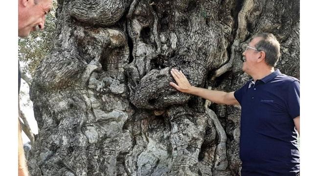 Kuşadası'nın anıtsal ağaçları için tescil çalışmaları başlatıldı