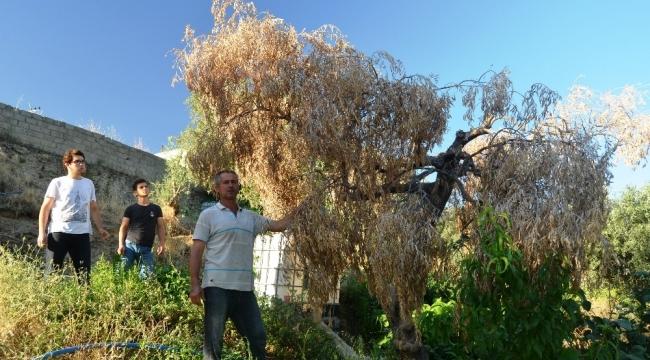 Bafa Gölü bölgesinde zeytin ağaçları kuruyor